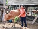 Gia Lai: Hàng trăm con bò bị nhiễm dịch bệnh lở mồm long móng