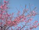 Hoa anh đào Nhật Bản khoe sắc hồng trên vùng cao Sa Pa