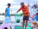Cá nuôi lồng bè gần xuất bán bỗng chết hàng loạt