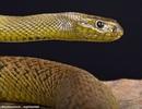 Chàng trai suýt bỏ mạng vì nuôi rắn độc nhất thế giới trong nhà để làm cảnh