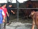 Hàng chục con bò chạy rông trên quốc lộ bị gom về trụ sở thị trấn