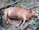 8 con bò của một hộ dân chết bất thường cùng ngày