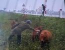 """Dùng bình xịt sơn đánh dấu bò chạy rông để """"truy"""" chủ bò"""