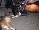 Bò thả rông liên tiếp gây tai nạn, không ai dám nhận là chủ bò