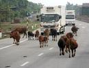 Hà Tĩnh báo cáo gấp Ủy ban ATGT Quốc gia về tình trạng trâu bò thả rông
