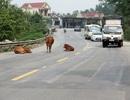 Rợn người những cú bẻ lái tránh... bò trên quốc lộ 1A