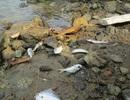 Cá chết, nổi lờ đờ tại dải nước màu vàng bất thường ở cảng Chân Mây