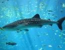 Thị trường lương thực toàn cầu tiếp tục đe dọa các loài cá mập và cá đuối