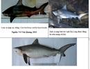 Cá lạ ở Vịnh Hạ Long thuộc họ cá mập không gây hại cho người