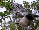 Cá sấu ăn cả cá mập và nhiều loài khác nữa