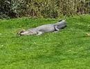 Khoảnh khắc sóc đồng cỏ liều mạng trêu chọc cá sấu đang nằm phơi nắng