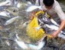 Sau 15 năm, cá tra xuất khẩu vào Mỹ trở lại với tên gọi catfish