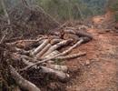 Phá rừng phòng hộ để làm nhà, trang trại chăn nuôi