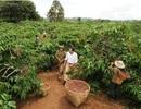 Đẩy mạnh sản xuất cà phê hòa tan: Từng bước nâng cao giá trị hạt cà phê Việt