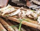 Cá nuôi lồng trên sông Mã chết hàng loạt