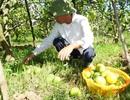 Cam Xã Đoài rụng đầy gốc, người trồng mất hàng trăm triệu đồng