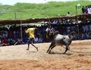 Độc đáo lễ hội đấu bò ở làng Mudikadai Ấn Độ