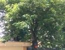 Bất ngờ trước giá trị thật của cây sưa trước cổng Bệnh viện 108