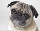 Tại sao chó pug và chó bull lại có khuôn mặt dẹt?