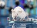 Tại sao chúng ta làm thí nghiệm khoa học trên chuột?