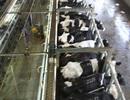 Từ bò sữa chất lượng cao tới ly sữa tươi sạch