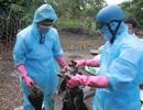 Tiêu hủy gần 1.000 con vịt trời nhiễm cúm H5N6