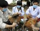 Thủ tướng Chính phủ chỉ đạo tập trung phòng chống cúm gia cầm