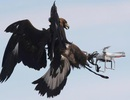 """Không quân Pháp """"tuyển"""" đại bàng để xử lý UAV khủng bố"""
