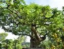 """Những cây kiểng """"độc"""", giá bạc tỷ ở chợ hoa Tết năm Đinh Dậu"""