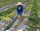 Trắng tay vì dưa hấu gần thu hoạch bỗng úng rễ, thối trái