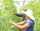 Quảng Trị: Chàng trai 9X tiên phong trồng dưa lưới hiệu quả trên vùng đất đỏ