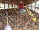 """Đến phiên người nuôi gà lao đao vì gà """"rớt giá"""""""