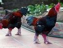 ''Hốt bạc'' nhờ nuôi gà quý hiếm