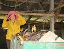 Vụ trại gà chết nghi bị đánh thuốc chuột: Loại khả năng gà chết do dịch