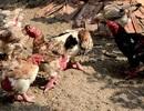 Vì sao gà Đông Tảo lừng danh xứ Bắc?