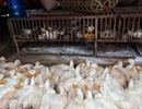 WHO: Vi rút cúm chết người biến đổi độc lực cao ở gia cầm
