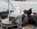"""Phú Quốc tăng cường kiểm soát gia cầm """"vượt biển"""" vào đảo"""