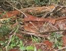 Rừng phòng hộ tại Quảng Trị bị chặt phá: Cần xử lý quyết liệt!