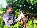 Xây dựng vùng sản xuất cà phê chất lượng và năng suất cao tại Buôn Ma Thuột