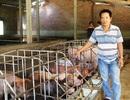 Bình Định: Heo rớt giá, người nuôi ôm nợ