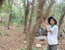 Nông dân lao đao vì tiêu chết hàng loạt trước ngày thu hoạch