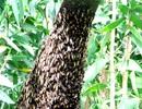 Từ mật ngọt đến... mắm ong rừng U Minh Hạ