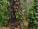 Nông dân điêu đứng vì cây tiêu bỗng nhiên chết