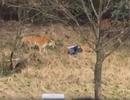 Trốn vé vào vườn thú, người đàn ông Trung Quốc bị hổ vồ chết
