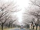 Hoa anh đào - Lời mời gọi của mùa Xuân Hàn Quốc
