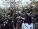 Ngẩn ngơ ngắm hoa ban nở trắng trời Điện Biên