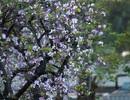 Hà Nội lãng mạn trong màu trắng tím hoa ban