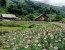 """Vườn hoa hồng ri – điểm check in mới nổi giữa """"ngôi làng đẹp nhất Tây Bắc"""""""