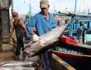 Ngư dân trúng đậm cá ngừ đại dương trước Tết Nguyên đán