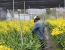 Lâm Đồng: Thu tiền tỉ từ trồng hoa lan vũ nữ xuất khẩu